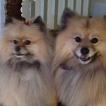 Available Pomeranian Puppies for Sale in NC