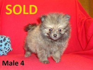 Pomeranian Puppies & Shih Poos for Sale in NC | T/A Kennels