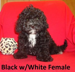 Black & White Shih-Poo Puppy in NC